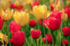 Tulpen, badische Mischung