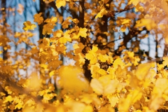 Gelbes Laub